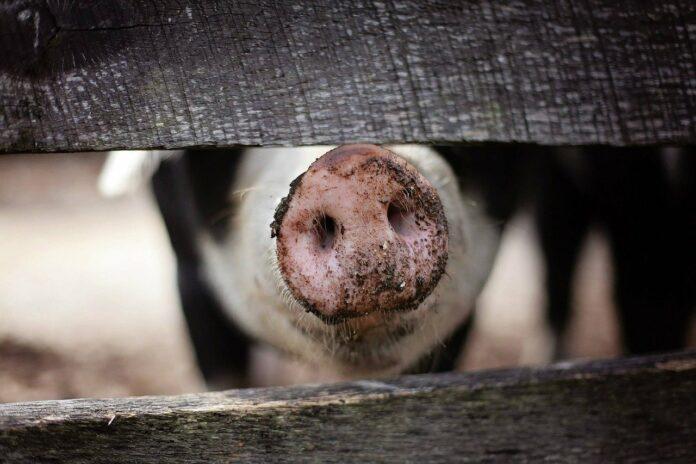 La peste porcine est-elle de retour